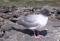 The Swallow-tailed Gull, endemic inhabitant of the Galápagos Islands.