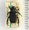 Cremastocheilus knochii LeConte 1853 - 5451329230.jpg