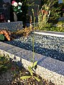 Crepis pulchra sl62.jpg
