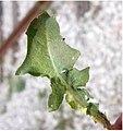 Crepis setosa leaf (25).jpg