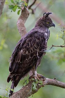 Changeable hawk-eagle species of bird