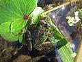 Cricket Frog, Acris crepitans - Flickr - GregTheBusker.jpg