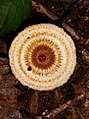 Crinipellis zonata (Peck) Sacc 789547.jpg