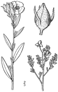 Crocanthemum bicknellii drawing 1.png