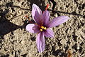 Crocus sativus, saffron (36).jpg
