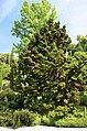 Cryptomeria japonica 001.jpg