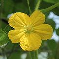 Cucurbitaceae-IMG 3521.jpg