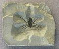 Curculioides adompha.jpg
