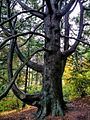 Curved-tree-Boston-Arboretum.jpg