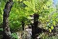 Cyathea dregei, Kirstenbosch.jpg