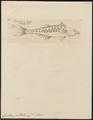 Cybium guttatum - 1700-1880 - Print - Iconographia Zoologica - Special Collections University of Amsterdam - UBA01 IZ13500232.tif