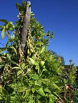 Cyclanthera pedata z01.JPG