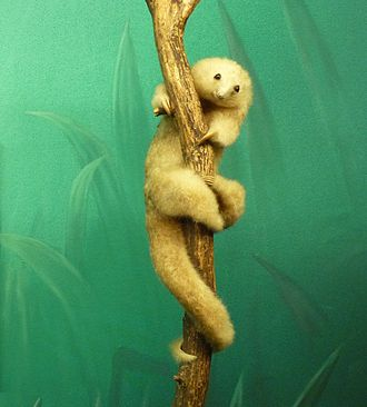 Silky anteater - A mounted specimen from the Natural History Museum of Geneva