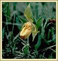 Cypripedium.calceolus.web.jpg