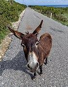 Cyprus donkey, Karpaz, Northern Cyprus.jpg