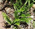 Cyrtomium falcatum, habitus, Manie van der Schijff BT.jpg