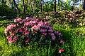 Dülmen, Welte, Rhododendronwald -- 2020 -- 6921.jpg