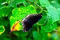 D85 5458 Butterfly from Phu Langka National Park, Thailand.jpg