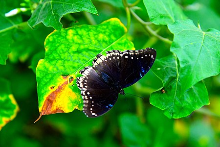 D85 5458 Butterfly from Phu Langka National Park, Thailand.jpg