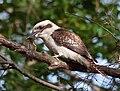 Dacelo novaeguineae -Sydney, Australia -frog in beak-8.jpg