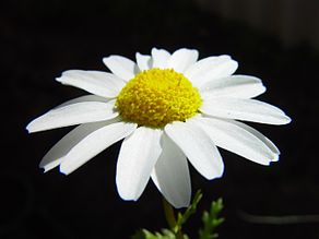 Daisy on dark background.jpg