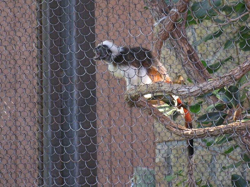 File:Dallas Zoo Colobus Monkey.jpg