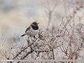 Dark-throated Thrush (Turdus ruficollis) (35035133361).jpg