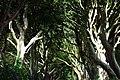 Dark Hedges, Nordirland, Bild 1.jpg
