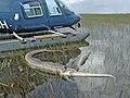 Dead Gator who ate Python (2), NPSphotos (9103750150).jpg
