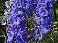 Delphinium × cultorum a1.jpg