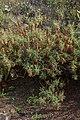 Dendriopoterium pulidoi - Jardín Botánico Canario Viera y Clavijo - Gran Canaria.jpg
