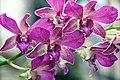 Dendrobium Diff 0zz.jpg