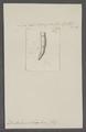 Dentalium clava - - Print - Iconographia Zoologica - Special Collections University of Amsterdam - UBAINV0274 081 10 0002.tif