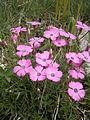 Dianthus pavonius 002.JPG