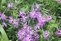 Dianthus superbus MS3900.JPG