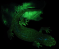 Dicamptodon and its urine imaged with blue excitation light and a yellow long pass filter - 41598 2020 59528 Supp Fig3.png