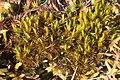 Dicranum brevifolium (a, 113253-471418) 6883.JPG