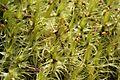 Dicranum polysetum (g, 144445-481818) 3811.JPG