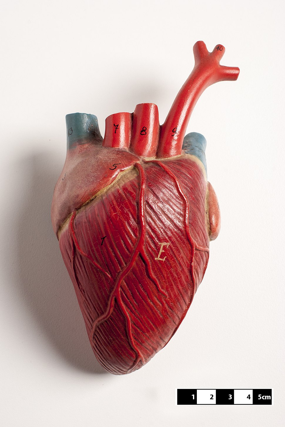 Didactic model of a mammal heart 01-FMVZ USP-07.jpeg