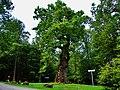 Die Hammundeseiche im Seulingswald (Sommer 2009) - panoramio.jpg