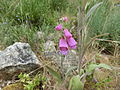 Digitalis purpurea 002.jpg