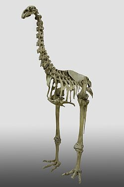 Dinornis robustus, South Island Giant Moa - three quarter view on gradient YORYM 2004 20.jpg
