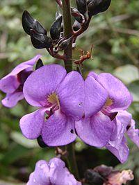 D. grandiflora