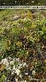 Diphasiastrum alpinum plant (15).jpg