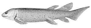 Dipterus - Illustration of Dipterus valenciennesi
