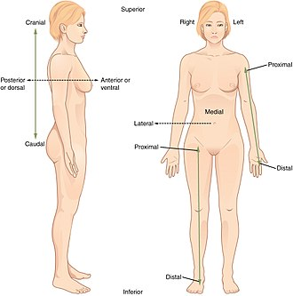 Standard anatomical position - The anatomical position, with terms of relative location noted.