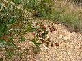 Dodonaea viscosa (5368400209).jpg