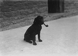 Dog with a pipe in its mouth (3467832779).jpg