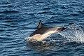 Dolphin (24344820985).jpg