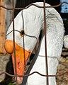 Domestic Swan Goose (Anser cygnoides var. domesticus) - FrogHollow Farm Sanctuary 2019-10-26 (01).jpg